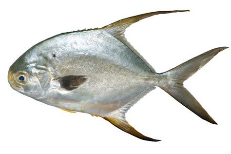 trachinotus ovatus trachinotus