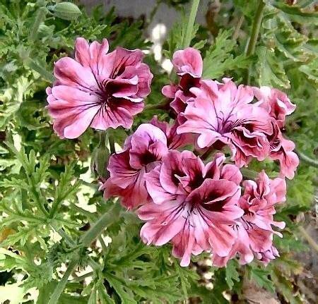 best scented geranium indoors lara bounty pelargonium scented geranium plant this scented geranium