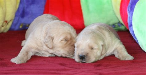 golden retriever puppies chandler az wildfire golden retrievers of arizona golden retrievers