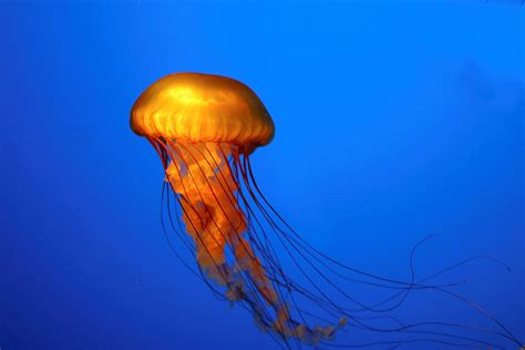 Chuka Kurage Ubur Ubur Jellyfish 15 hewan laut yang berbahaya ataplaut
