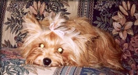 strawberry blonde yorkies chorkie dog breed information and pictures