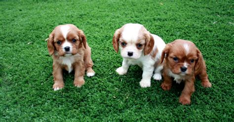 razze canine da appartamento cani di piccola taglia da compagnia ecco quale scegliere