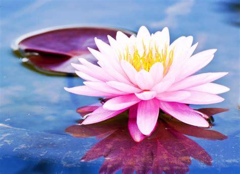 gambar bunga teratai  permukaan air pernik dunia