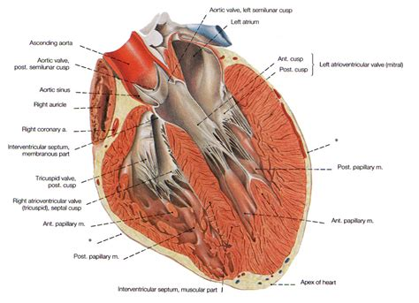 longitudinal section of the human heart parts of cardiac cycle electrical schematic