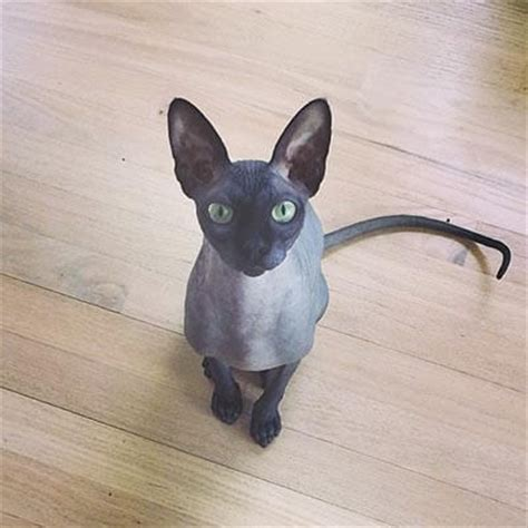 hairless breeds hairless cat breeds cat owner club