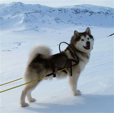 alaskan sled dogs alaskan malamute breed information characteristics