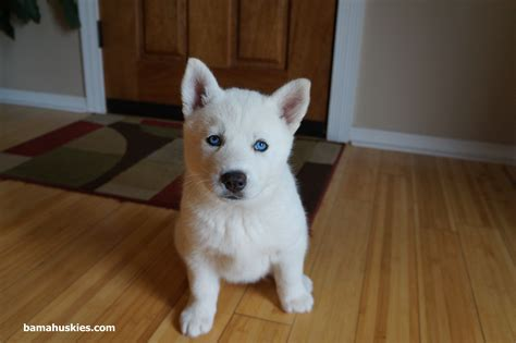 white husky puppy white husky puppy with blue siberian husky puppies for sale