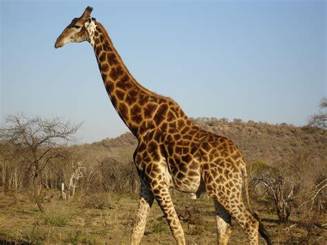 google images giraffe south african giraffe google search non bovids