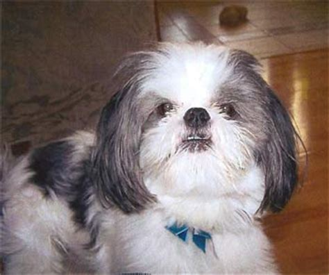 baby shih tzu adoption shih tzu puppies for adoption in michigan world baby contest breeds picture