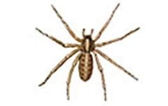 domestic house spider info center learn about domestic house spiders terminix