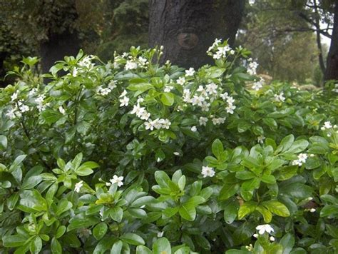siepi fiorite da giardino siepi piante da giardino