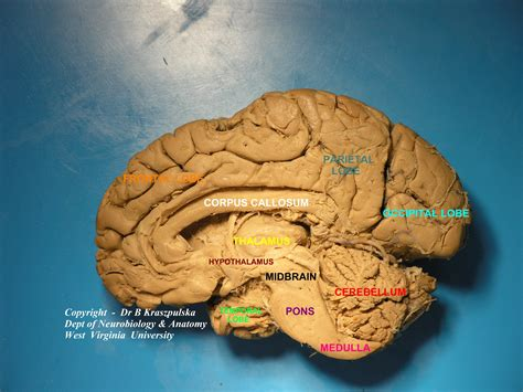 Saggital Section Of Brain by Sagittal Section Of The Brain Images