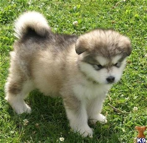 husky malamute puppies 25 best ideas about alaskan malamute on dogs alaskan