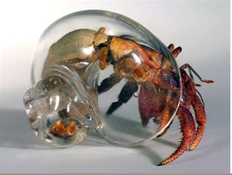 a house for hermit crab hermit crabs living in glass houses janice petrie