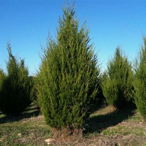 Blue And Brown Nursery by Juniperus Virginiana Eastern Red Cedar Long Island
