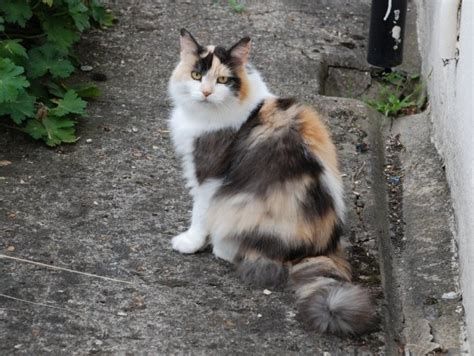 File:Longhaired Calico Cat   Wikimedia Commons