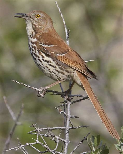 brown thrasher audubon field guide