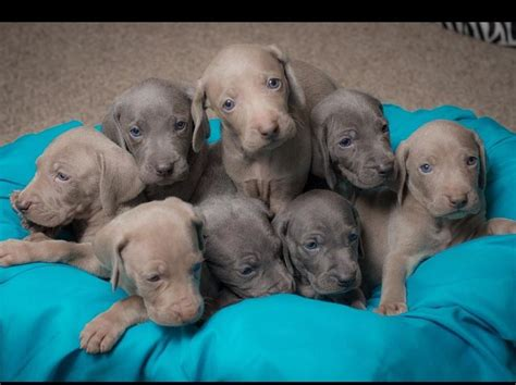 weimaraner puppies for sale in tn 17 best images about weimaraner on nancy dell olio other and entertainment