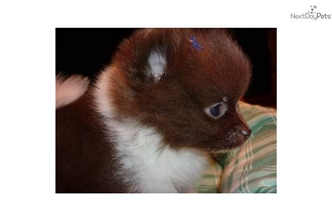 pomeranian puppies for sale in fort wayne indiana pomeranian for sale for 1 000 near fort wayne indiana 7507b042 3c31