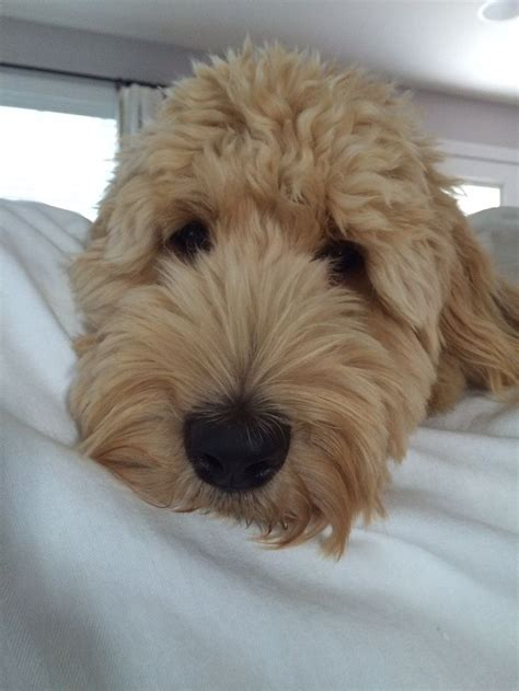puppy haircuts near me 182 best labradoodle haircut images on pinterest golden