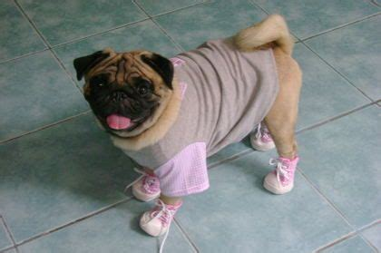 pug in booties every needs the shoe to complete it this pug picked the pair