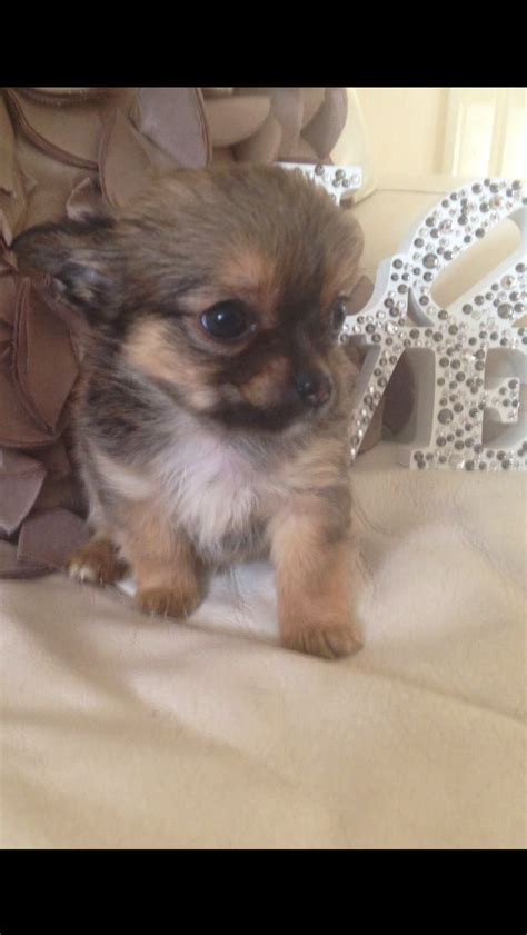 extremely puppies extremely chihuahua puppies for sale gravesend kent pets4homes