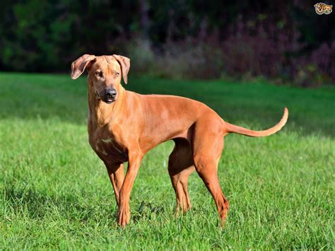 how to a ridgeback rhodesian ridgeback breed information buying advice photos and facts pets4homes
