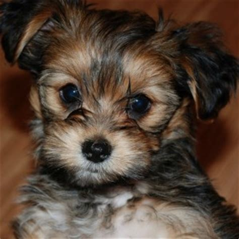 shorkie tzu puppies for sale shorkie puppies for sale