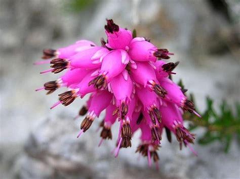 fiori di erica erica fiore piante perenni fiore dell erica