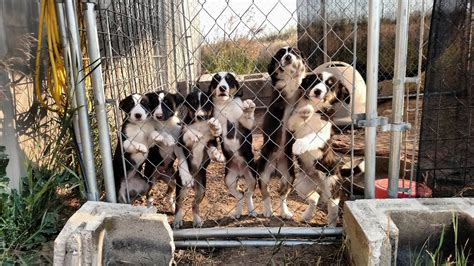 hanging tree dogs border collie x hanging tree puppies