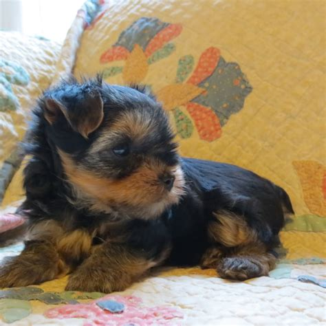 7 week yorkie puppy pin by lori pearce on ballard acres yorkies