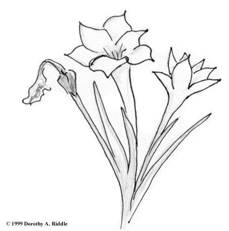 coloring page indian paintbrush indian paintbrush flower coloring page kids coloring