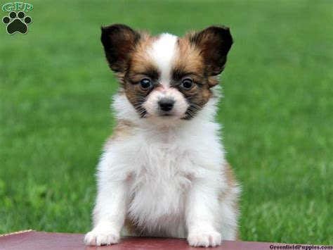 papillon puppies for sale papillon puppies papillon puppies for sale in pa animals