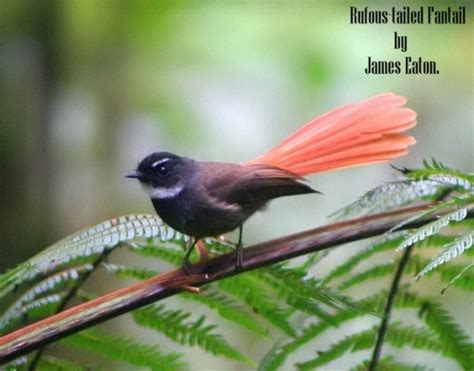 Vitamin Songvit kipasan ekor merah rhipidura phoenicura trend burung