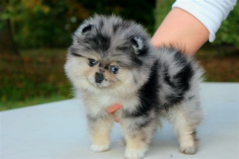nose pomeranian for sale blue pomeranian puppies for sale and from breeders