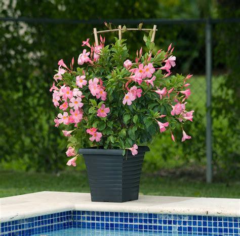 sun parasol pretty pink mandevilla michigan gardening