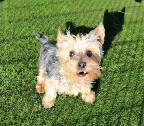 artificial grass for dogs artificial grass in dallas tx from nexgen lawns