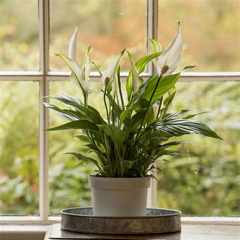 buy house plants online uk buy peace lily spathiphyllum wallisii bellini