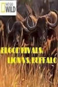 lion film national geographic watch national geographic blood rivals lion vs buffalo
