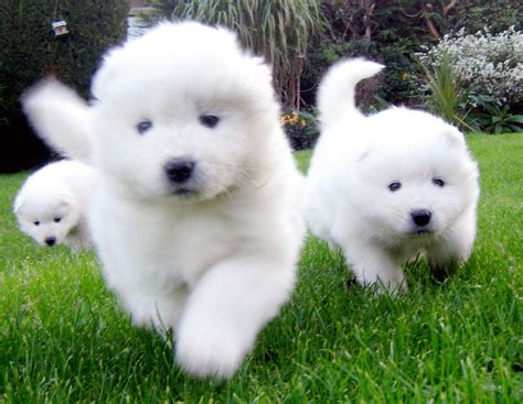 puppies dogs samoyed all big breeds