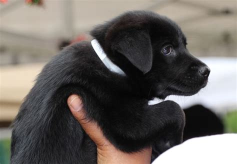 labrador rescue puppies 7 reasons why you should adopt a rescue puppy