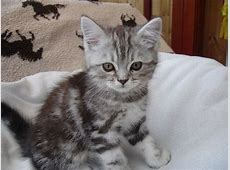 Absolutely Gorgeous Persian X Kittens For Sale | Crewe ... Kittens For Sale