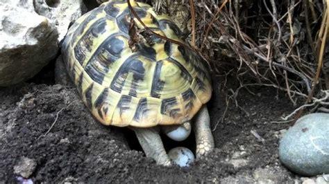 lada per tartarughe di terra deposizione tartarughe di terra testudo hermanni