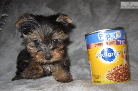 teacup yorkie for sale in st louis mo 9 best own a tea cup yorkie images on yorkies baby puppies and cup of tea
