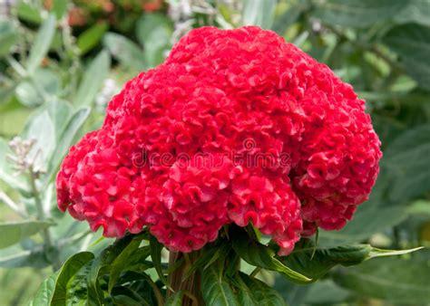cresta di gallo fiore fiore piumato rosso della cresta di gallo sull albero