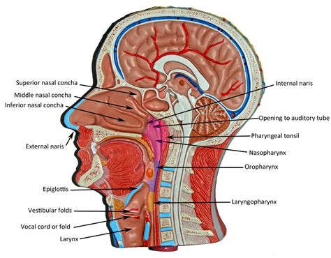 what is the head section of a web page head and neck human anatomy web site