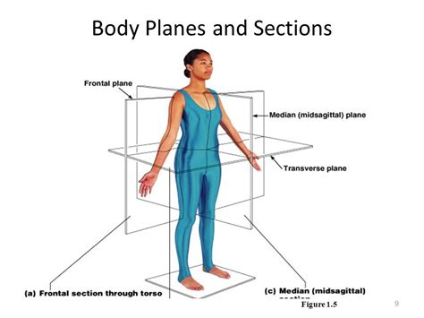 Anatomy Terminology And Tissues Ppt Video Online Download