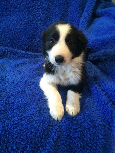 puppies for sale in birmingham border collie puppies for sale birmingham west midlands gumtree puppies