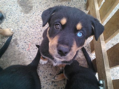 husky and rottweiler mix husky rottweiler cross puppies durham county durham pets4homes