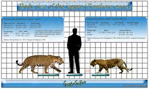 Jaguar Size And Weight On The Edge Of Extinction C The Jaguar Panthera Onca